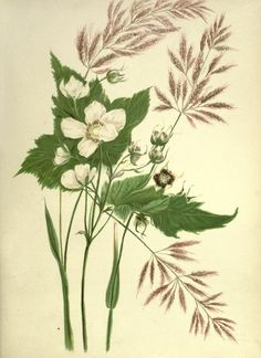 1887 - Wild flowers of the Pacific coast. From original water color sketches drawn from nature; by Emma Homan Thayer. - VIA Biodiversity Heritage Library