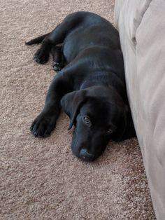 Labrador Retriever Everyone Meet Poe Our Rescued Lab Mix Puppy Lab Mix Puppies, Black Lab Puppies, Cute Puppies, Cute Dogs, Dogs And Puppies, Spaniel Puppies, Doggies, Corgi Puppies, Husky Lab Mix Puppy