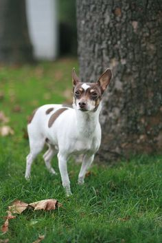Rat Terrier -looks so much like my baby!