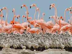 Flamingo Chicks, Mexico    Photograph by Klaus Nigge,