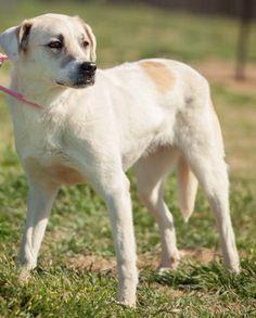 08/02/14 sl ~Tori~ustralian Cattle Dog (Blue Heeler) & Labrador Retriever Mix • Adult • Female • Large Hope for Paws Lavon, TX