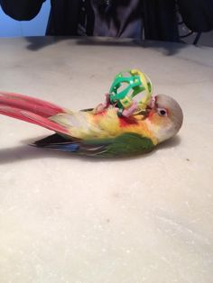 Conure Pineapple Animals And Pets, Baby Animals, Cute Animals, Pineapple Conure, Conure Bird, Toy Dog Breeds, Crazy Bird, Baby Dinosaurs, Kinds Of Birds