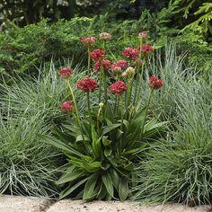 Armeria pseudarmeria, FRANSKTRIFT 'Ballerina Red' Sol, 20 cm Prydliga, kompakta tuvor med klarröda, bollrunda blomställningar på korta, stadiga stjälkar. Vintergrön perenn som blommar redan första året. Kan även odlas i krukor. Fint mattväxande för rabatter och kuperade växtlägen.  Odling: Förkultiveras inomhus i feb-mar eller sås utomhus i krukor eller på friland maj-sep. Fröerna täcks med ett tunt lager perlit.