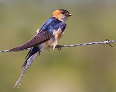 Andorinha-dáurica / Red-rumped swallow | Flickr - Photo Sharing!