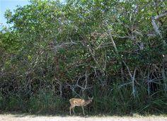 This February 2013 photo shows a Key deer in the National Key Deer Refuge in the Florida Keys. (AP Photo/Beth J. Harpaz) ▼5Mar2014AP Florida Keys creatures: Fish, birds, 6-toed cats http://bigstory.ap.org/article/florida-keys-creatures-fish-birds-6-toed-cats