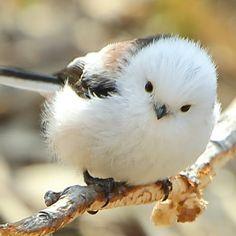 # シ マ エ ナ ガ … - Animales Tiernos Cute Birds, Pretty Birds, Small Birds, Little Birds, Colorful Birds, Beautiful Birds, Animals Beautiful, Animals And Pets, Baby Animals