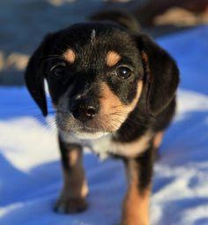 Beagle Mix Puppy