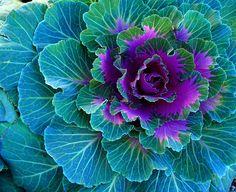 Colorful Ornamental Cabbage