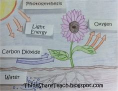 Photosynthesis Lift the Flap -- free printable of the whole thing -- flaps and flower/sun picture included