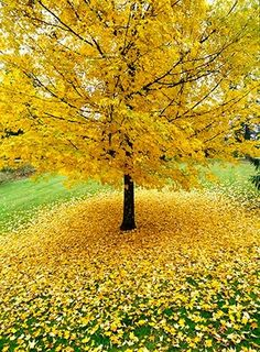 Allan Mandell gingko tree in the fall. Gorgeous
