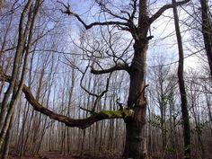 Quercus / Chêne de Montoloyer, 350 jaar
