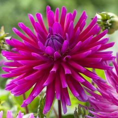Dahlia Purple Gem. If you love purple and big impact in your garden, this tall and full cactus dahlia is for you! Big blooms measuring 5