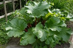 Rhubarb - Growing Rhubarb in an Edible Landscape (NOTE: Rhubarb leaves are deadly poisonous if eaten)