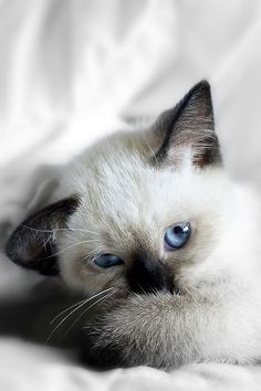 Cute And Furry Animals Photography - Siamese Kittens - Ideas of Siamese Kittens - Cute And Furry Animals Photography The post Cute And Furry Animals Photography appeared first on Cat Gig. Siamese Kittens, Baby Kittens, Cute Kittens, Cats And Kittens, Bengal Cats, Ragdoll Cats, Big Cats, Pretty Cats, Beautiful Cats