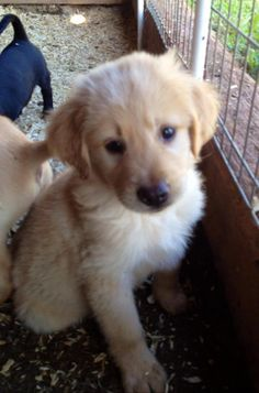Hairy Joe is an adoptable Labrador Retriever, Golden Retriever Dog in Ewing, NJ Very nice lab mixes! They are about 8 weeks and will be about 50 pounds as adults. All of ou ... ...Read more about me on @petfinder.com