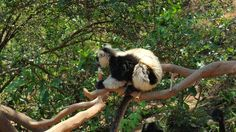 A lemur in a tree near Antananarivo, the capital of Madagascar.  This exotic animal isfou oly on the Island of Madagascar.