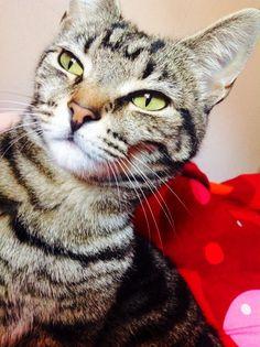 Cat - Other - Dizzy on www.yummypets.com