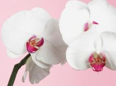 white orchid pink flowers picture and wallpaper Pink Flower Pictures, Flower Images, Suculent Plants, Comment Planter, Zen, Growing Orchids, White Orchids, Diy Planters, Green Garden