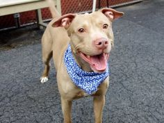 Manhattan Center HUGS – A1033215 MALE, TAN, PIT BULL MIX, 1 yr STRAY – STRAY WAIT, NO HOLD Reason STRAY Intake condition EXAM REQ Intake Date 04/14/2015
