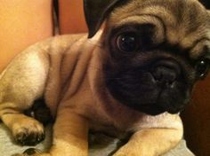 Hi...my name is baby Pug