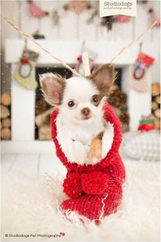 Chihuahua Merry Happy Christmas Day Card Puppy Holiday Dogs Santa Claus Dog Puppies Xmas #MerryChristmas