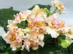 Sunkissed Rose Селекционер: Lyndon Lyon Greenhouses/D. Herringshaw Цветок: махровый палевый желтый, кружевной, звезда/более темный глазок, тонкий розовый край на центре лепестков. Розетка: светло-зеленая, стеганая, зубчатая. Размер: Стандарт .  Владелица растения, с которого я брала лист, считает его спортом - очень яркие цветы, выражено желто-розовые, очень близко к фото сорта АВ-Абрикосовый сад.