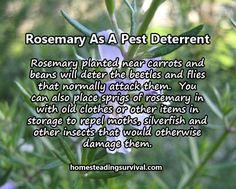 Rosemary As A Pest Deterrent! More info here: http://homesteadingsurvival.com/rosemary-as-a-pest-deterrent/