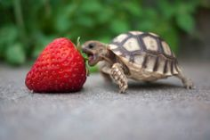 One hungry turtle #cute #animals