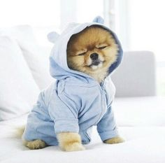 Marvelous Pomeranian Does Your Dog Measure Up and Does It Matter Characteristics. All About Pomeranian Does Your Dog Measure Up and Does It Matter Characteristics. Baby Animals Super Cute, Cute Little Animals, Cute Funny Animals, Cute Little Puppies, Cute Dogs And Puppies, Baby Dogs, Doggies, Pet Dogs, Baby Animals Pictures