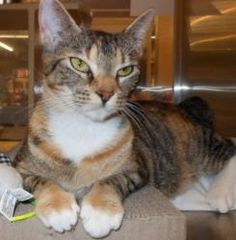 Tiger is an adoptable Domestic Short Hair Cat in Cumming, GA. I'm Tiger, a calico female DSH born around May 2010. Currently I live at the Adoption Center with lots of kitty roommates. We all gret alo...