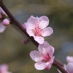 Peach Blossoms...