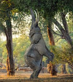 An elephant stands on its back legs to reach high leaves with its trunk in a forest at Mana Pools, a UNESCO World Heritage site in Zimbabwe. Photographer Morkel Erasmus captured this behaviour, which has made the Mana Pools elephants famous but has rarely been photographed.    by MORKEL ERASMUS / CATERS NEWS