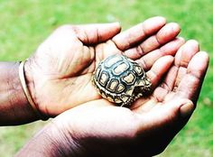 The leopard tortoise is a large tortoise found in the savannas of Southern and Eastern Africa. This is a baby one, and it will grow, on average, to be the fourth largest tortoise in the world. They reach about a foot-and-a-half in length, and about 40 pounds in weight. Sometimes they will take over abandoned foxholes or burrows in the hot and cold, but will only dig their own for the purpose of laying eggs. They usually live between 80 and 100 years. #Science #Tortoise #TooCute