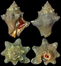 Chong Chen Cymia tectum (Wood, 1828) MURICIDAE -2.5~3m, Dived, Coiba Island, Panama, 51.3mm, F++