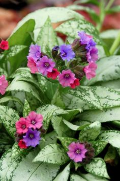 Pulmonaria (Lungwort) another favorite shade plant
