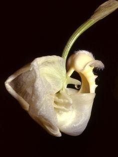 File:Coryanthes alborosea Orchi 03.jpg