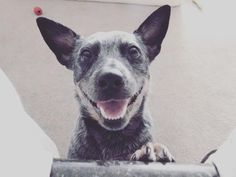 Rain or shine night or day this smile is always there.  #ElsieMae #dogsmile #heeler #blueheeler #heelergram #heelerclub #topdogphoto #australiancattledog #doggy #lovehersomuch #iflmdog #excellent_dogs #lacyandpaws #dogsandpals #smile #mygirl #bestwoof #dogscorner #dogstagram #dogsofinstaworld #loveher #ilovemydog #Nikon #dogsofinstagram #Alabama #photography #tuscaloosa #nikonphotography #amatuerphotography #everythingdoggies by elsiemae_the_acd