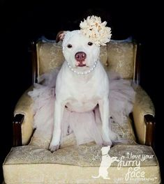 Rescued pit bull photography. White and tan female with pearls and a big flower headband sitting pretty on a vintage chair.