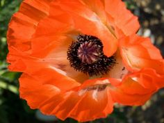 Information On Growing Poppy Flowers - The poppy (Papaver rhoeas L.) is an ancient flowering plant, long desired by gardeners in a range of landscape situations. Learning how to grow poppies allows you to use their beauty in many flower beds and gardens. Planting poppies is simple and rewarding when their single and double blooms appear in cooler seasons.
