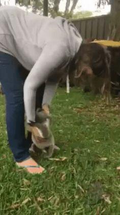 Baby koala runs into a tree : AnimalsBeingDerps