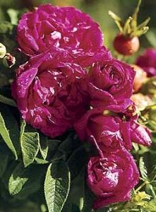 Hansa Rugosa Rose Rosa