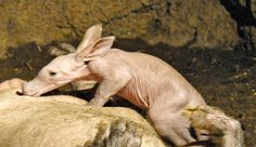 This little pink baby Aardvark is the first ever to be born in Spain at Bioparc Valencia. It's very healthy and growing stronger each day! See video of it nursing and learn more about this unusual looking species, today on ZooBorns.com.