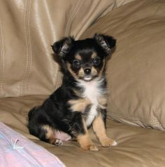 Will x Raisin - black and tan female longcoat chihuahua puppy