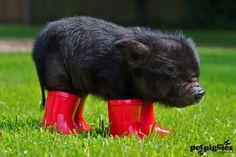 micro pig at petpiggies predicts UK weather for 2012