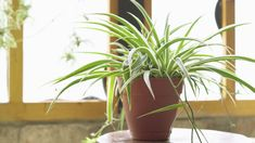 plant care How to Grow and Care for Spider Plants Big Indoor Plants, Hanging Plants, Ivy Plants, Hardy Plants, Palm Plants, House Plant Care, House Plants, Snake Plant Care, Container Gardening