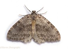 What our traps catch: Moths.