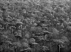 Adansonia grandidieri (baobabs of madagascar) by Sebastiao Salgado