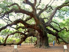 Author Denise Roffe in her Ghosts and Legends of Charleston, South Carolina, interviewed an elderly African-American woman who was descended from the slaves who once toiled on the island's plantations before the Civil War. She recounted the legends of the tree including that the tree was once home to huge birds (probably vultures) who would feast on the bodies of slaves hung in the tree. Th