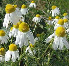 Piante aromatiche: coltivare la Camomilla
