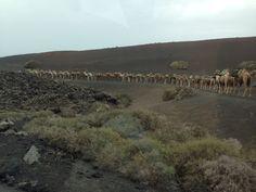 Lanzarote Camels